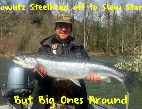 Cowlitz Steelhead off to Slow Start – But Big Ones Around