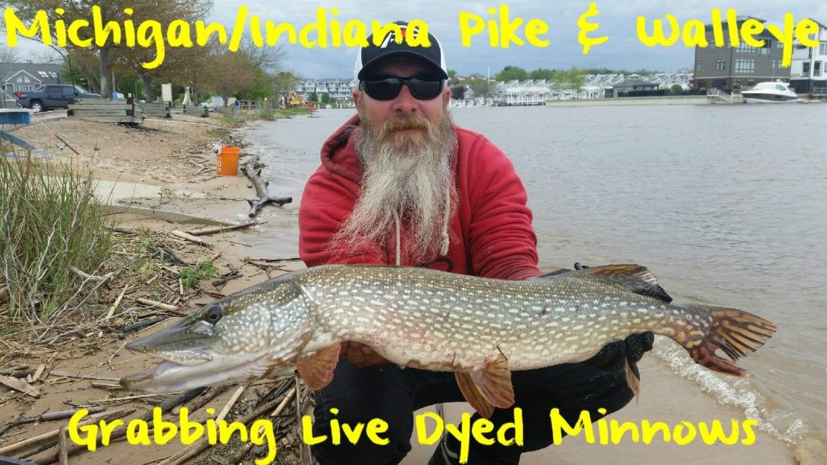 Michigan/Indiana Walleye & Pike: Grabbing Live Dyed Minnows ...