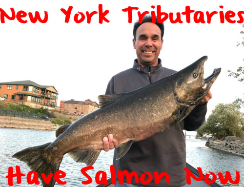 New York Tributaries Have Salmon Now
