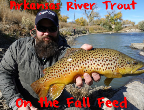 Arkansas River Trout On the Fall Feed