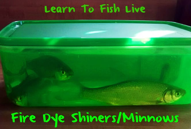 Learn to Catch Fish With Live Fire Dye Minnows – Pautzke Bait Co