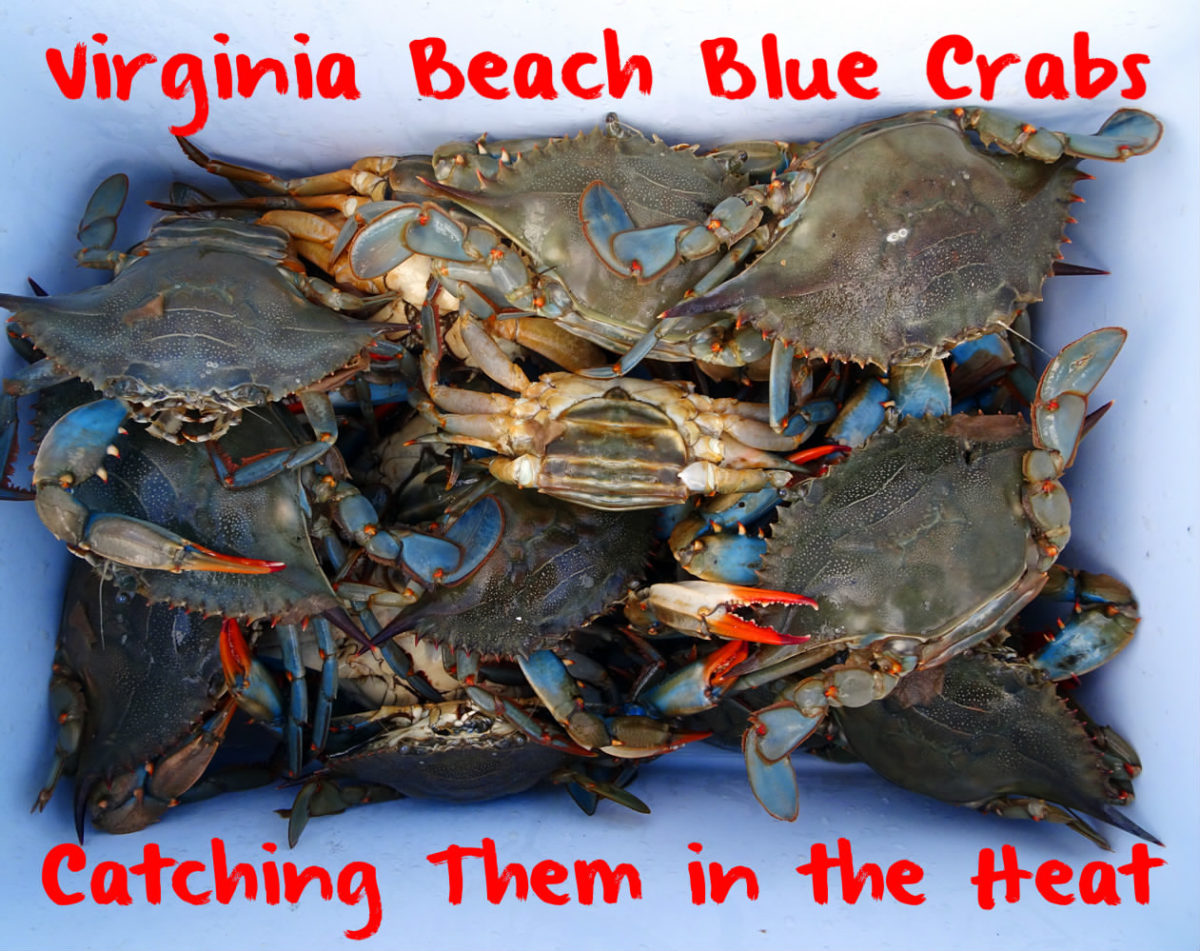 Virginia Beach Blue Crabs Catching Them In The Heat Gallery