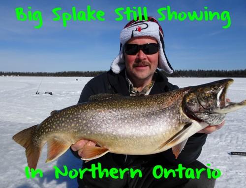 Big Splake Still Showing in Northern Ontario
