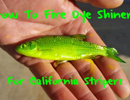 Learn to Fire Dye Live Shiners For California Stripers