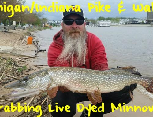 Michigan/Indiana Walleye & Pike: Grabbing Live Dyed Minnows