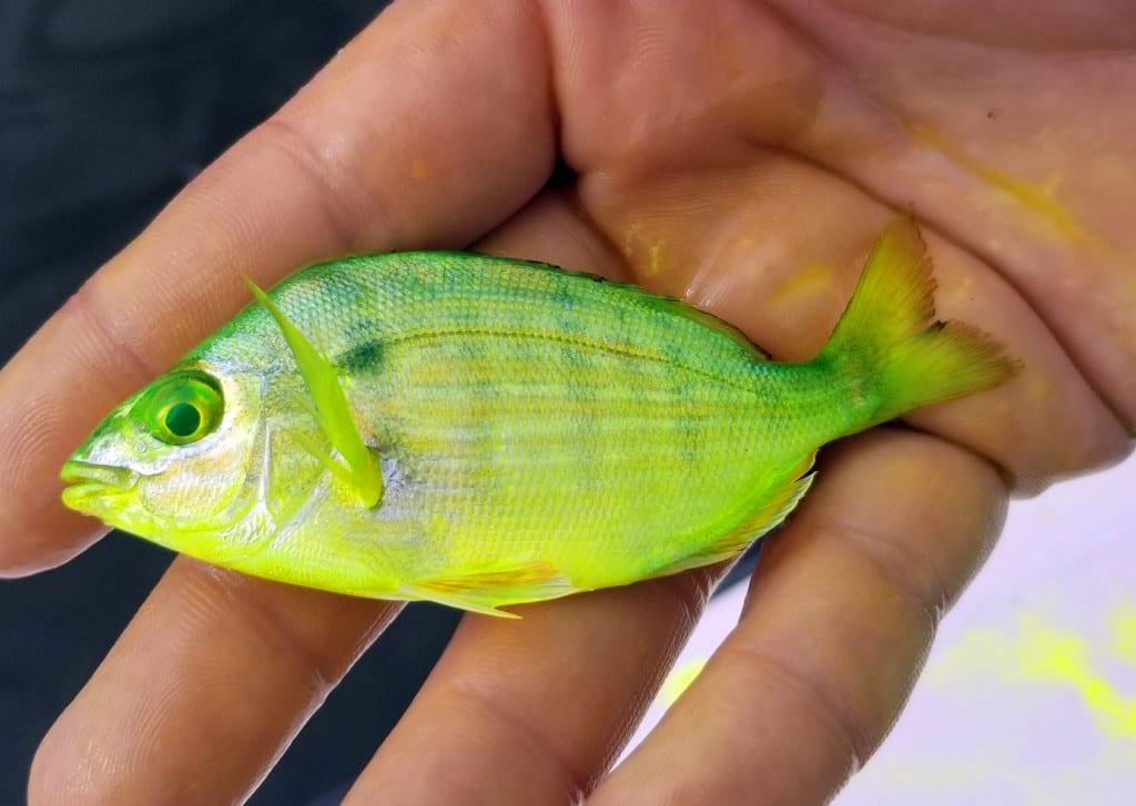 chartreusepinfish